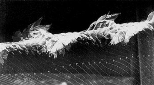 Etienne-Jules Marey, Flight of seagulls, 1886